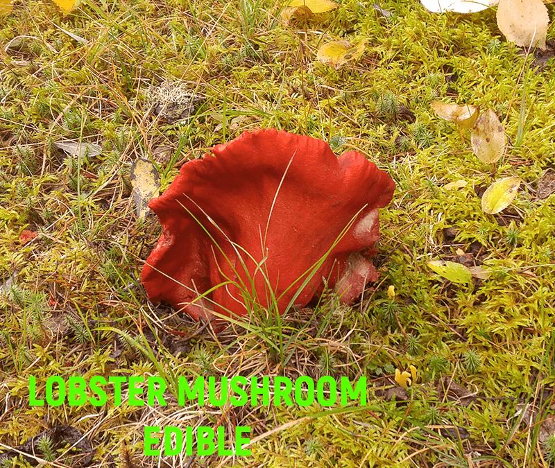 The Lobster Mushroom